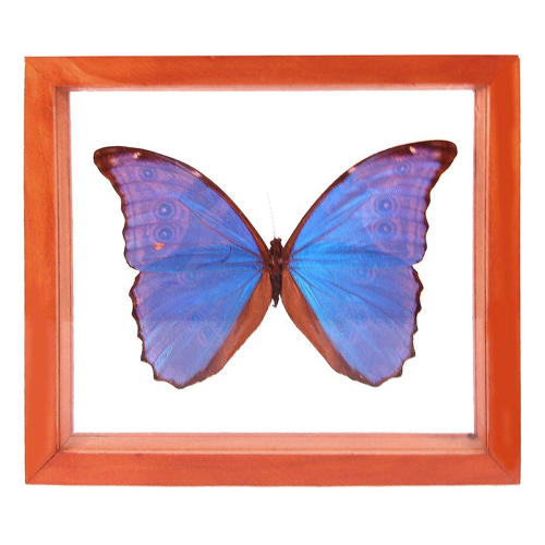 Pulp Home - Encased Butterfly - Blue